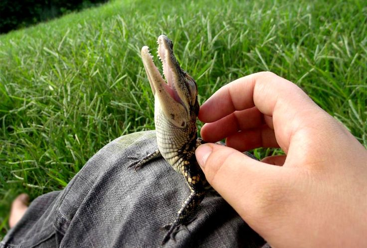 Will micro-crocodiles be our next pets? Image of a baby crocodile taken from Pinterest - user Jessica Curzon