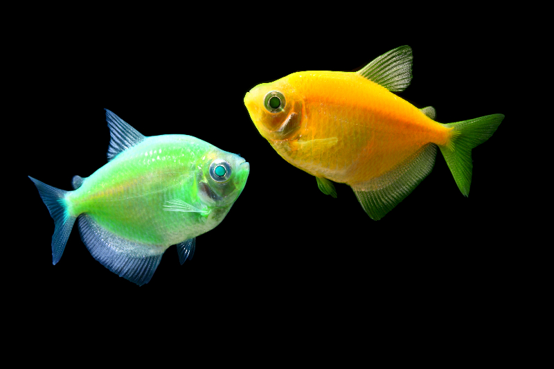 "GloFish as our ""glow in the dark"" pets. Image originally from the GloFish site"